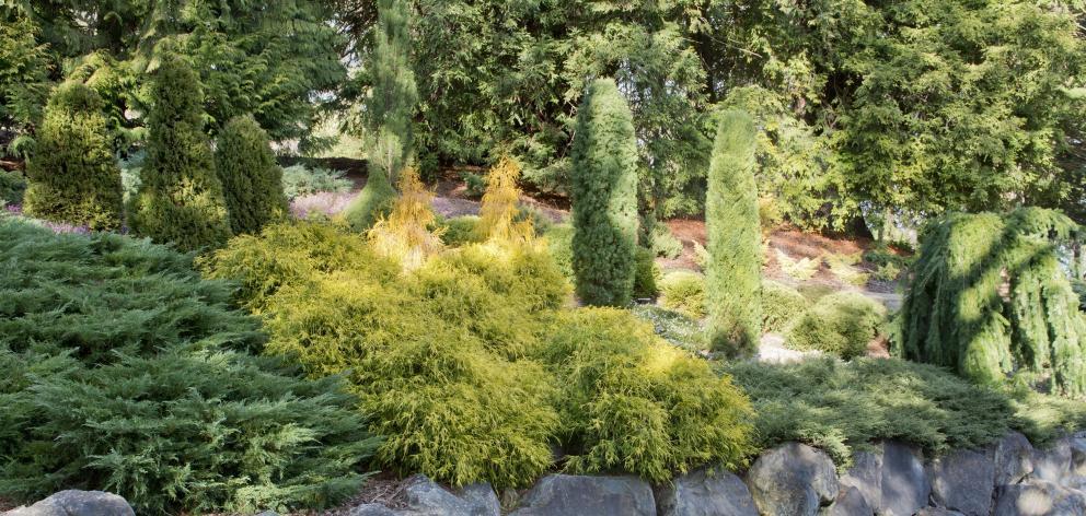 The conifer collection. PHOTO: GERARD O'BRIEN