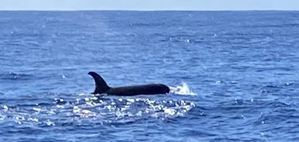 Orca seen about 30km off Cape Saunders, Otago Peninsula, yesterday. PHOTO: COLIN GOLDTHORPE