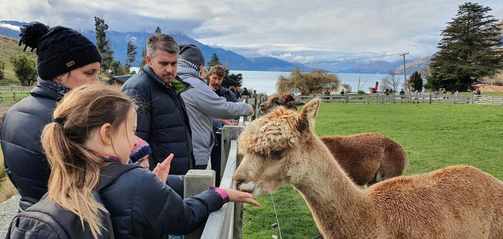 Friendly llamas nibble treats from children.