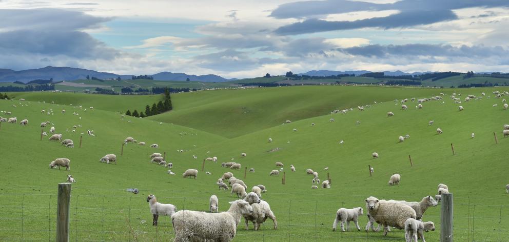 Ewes and lambs graze near Pukerau late last week. PHOTO: GREGOR RICHARDSON