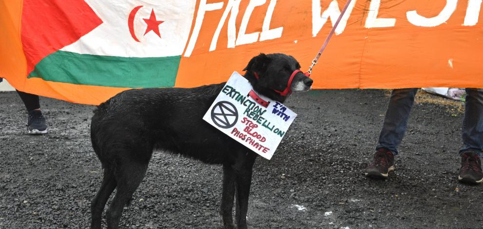 A dog wears a sign saying ''stop blood phosphate'' during a protest at Ballance Agri-Nutrients,...