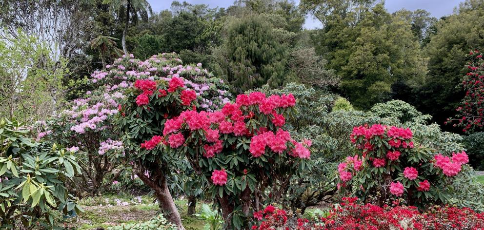 Pukeiti garden is home to more than a thousand different species of  rhododendron.