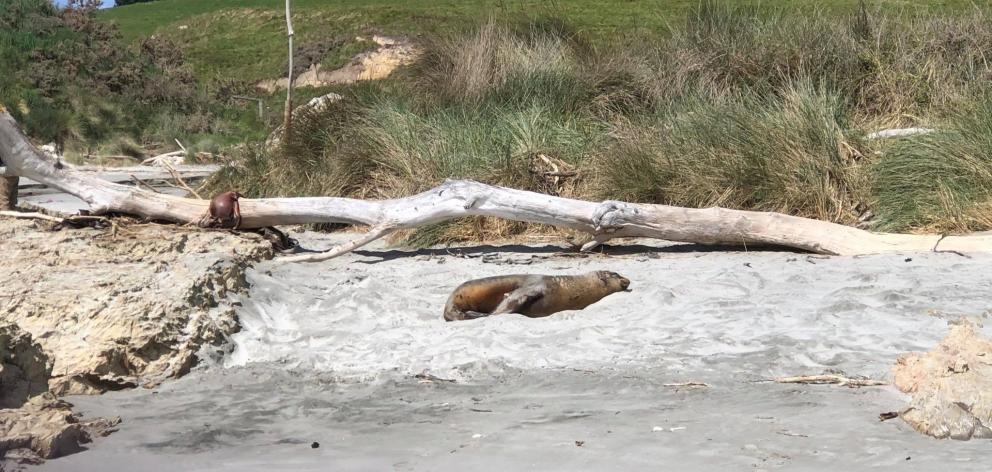A sea lion sits in the middle of the course at the Coastal Classic on Sunday. PHOTO: SUPPLIED