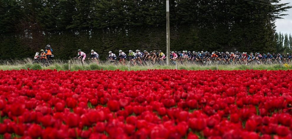 A group of riders on the Tour of Southland rides past a field of tulips in the stage from...