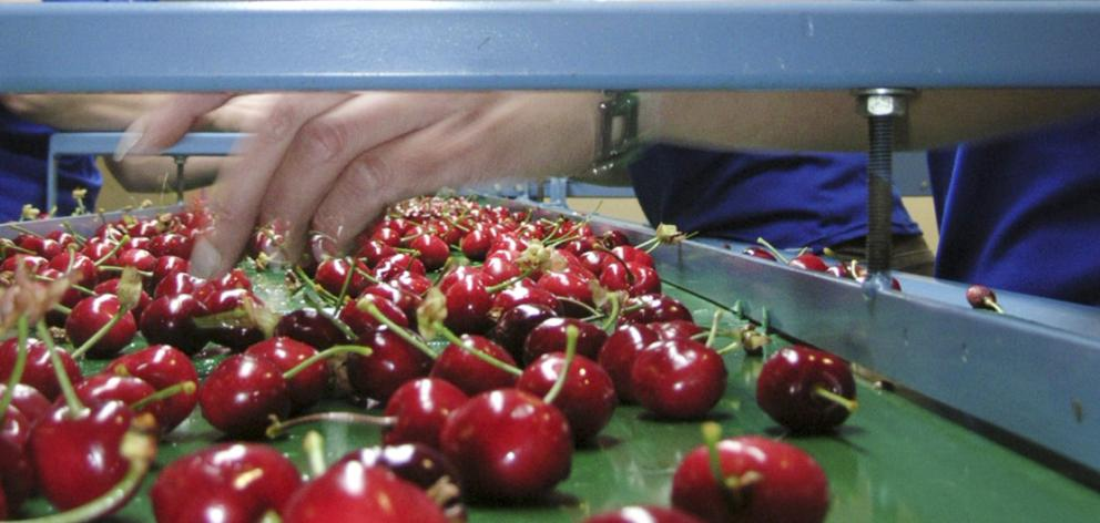 Cherries are graded in Cromwell. Photo: Otago Images