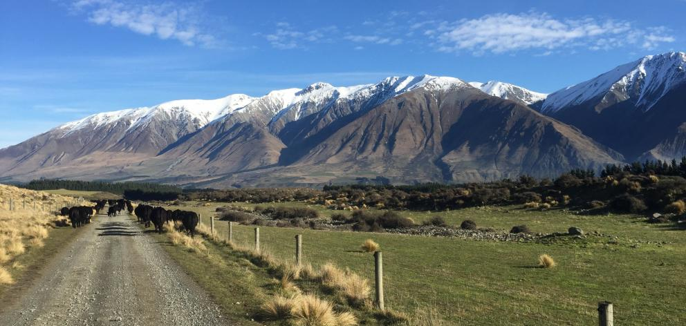 Mountains provide a backdrop for farming cadets moving Angus cattle at Coleridge Downs Training Farm. Photo: Lachie Mee