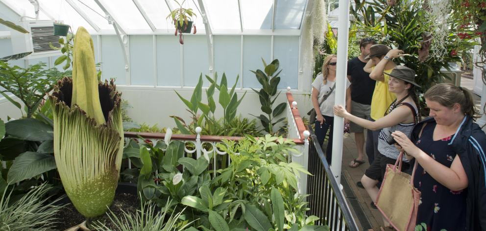 Interested onlookers view the corpse plant at the Dunedin Botanic Garden yesterday....