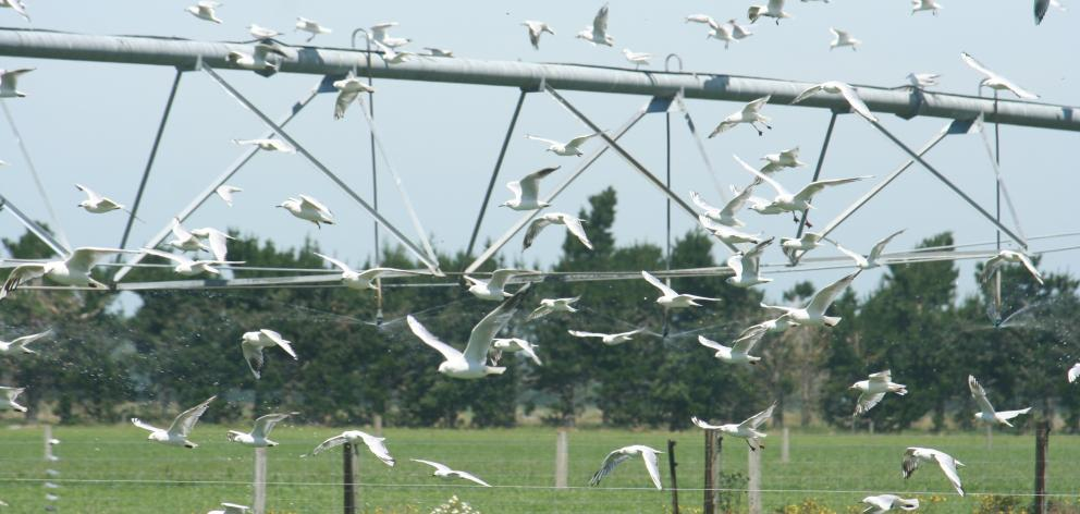 Endangered black- backed gulls nest  at their new  dairy farm site in Mid Canterbury.