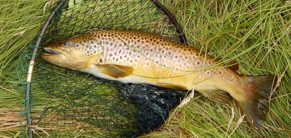 A 2kg brown trout caught on a water boatman in Mathias Dam in the Maniototo. PHOTO: MIKE WEDDELL