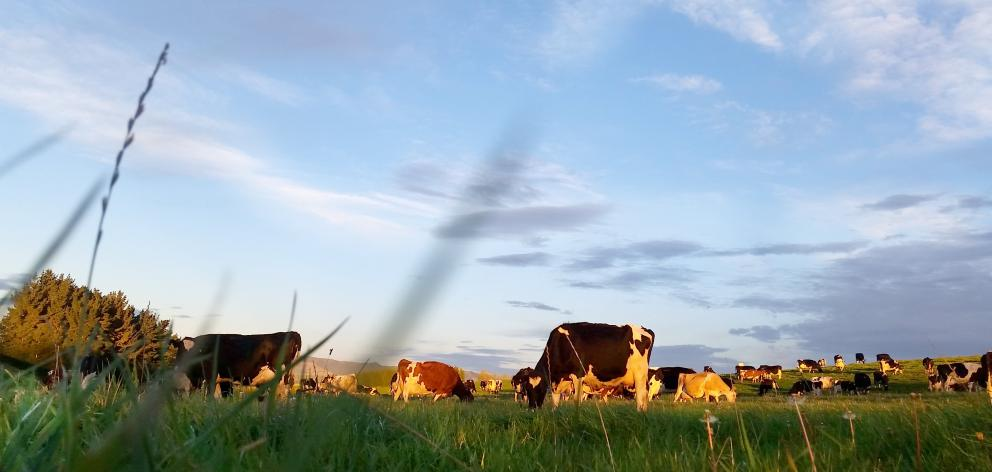 Cows graze on the Eade family farm at Kelso. PHOTOS: SUPPLIED