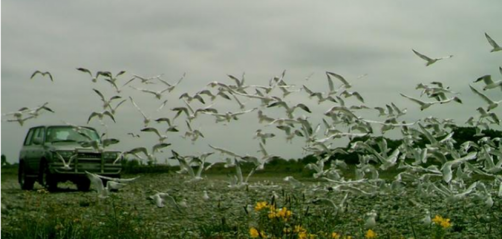 A truck driving through a gull colony in North Canterbury. Photo: Supplied / Ashley-Rakahuri...