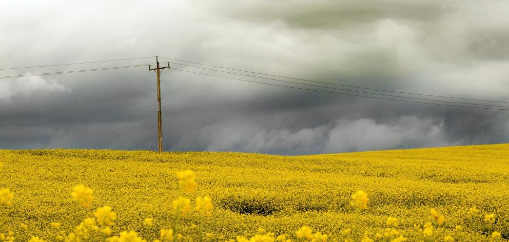 Rain clouds gather behind a paddock of canola, south of Balclutha. PHOTO: STEPHEN JAQUIERY