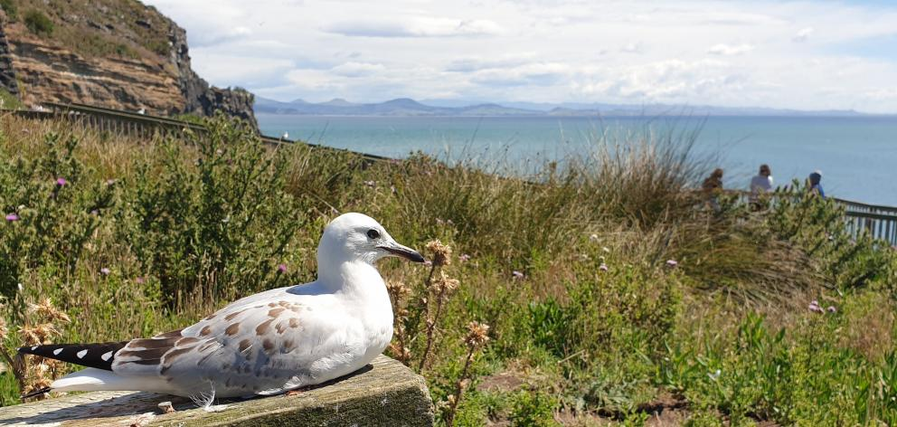 A juvenile red-billed seagull rests near the clifftop walk.