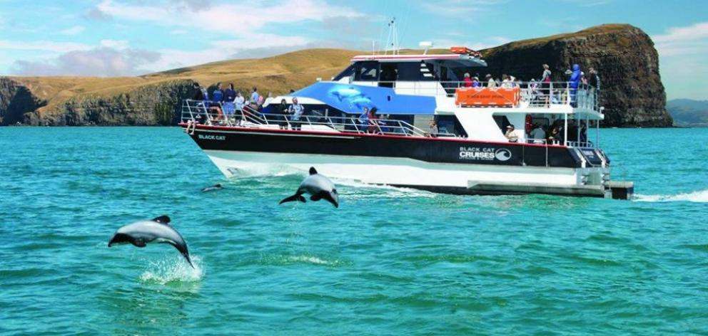 A pod of frisky Hector's dolphins frolic in the harbour