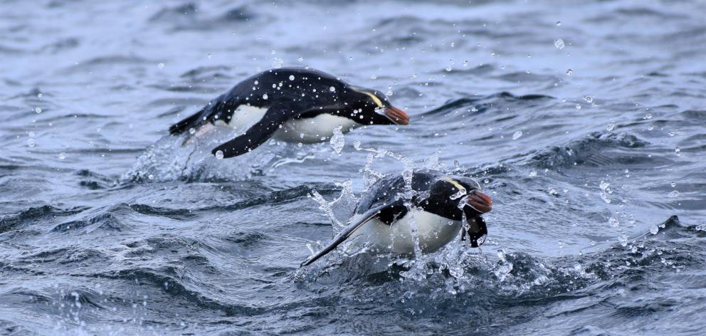 Erect-crested penguins porpoise through the waves