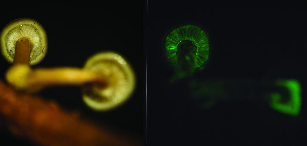 Armillaria novae-zelandiae during day (left) and at night (right). PHOTOS: DAVID HERA
