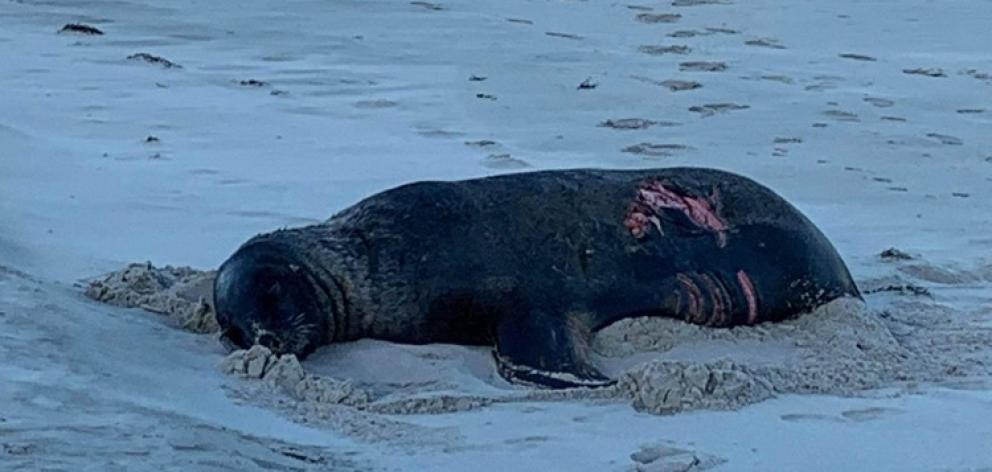 Doc is appealing for sightings of the injured adult sea lion after it was attacked by a great...