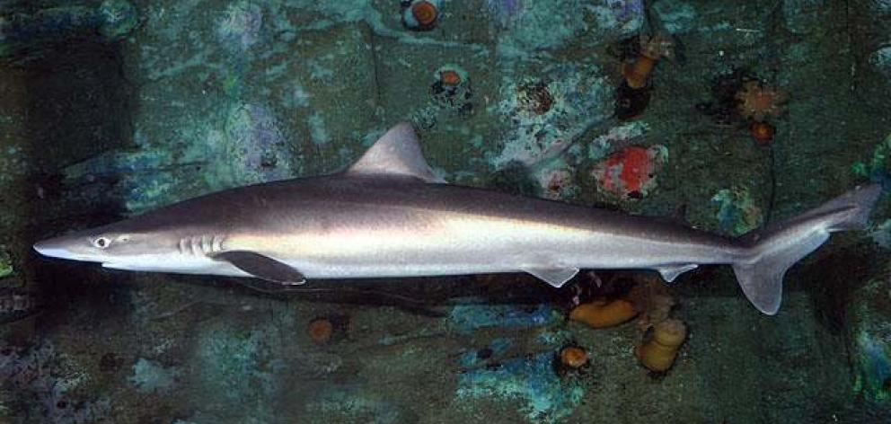 School sharks are becoming harder to catch in southern waters.PHOTO: SUPPLIED