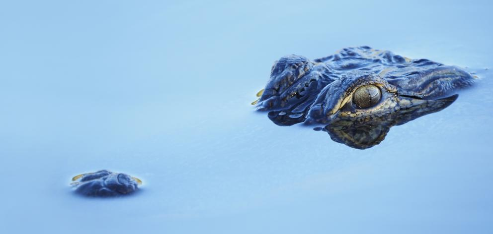 Alligators do not usually attack humans unless the food they have stashed has been displaced, as...