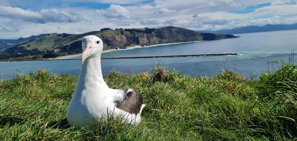 Albatross YL (Yellow Lime), a 4-year-old male who hatched and fledged from Taiaroa Head in 2017,...