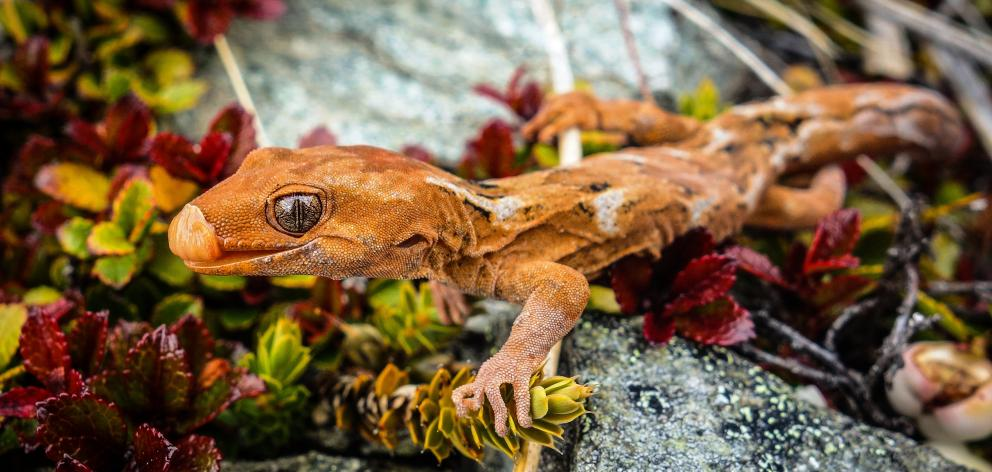 The orange spotted gecko is now only found high on Otago's mountains.  PHOTO: CAREY KNOX