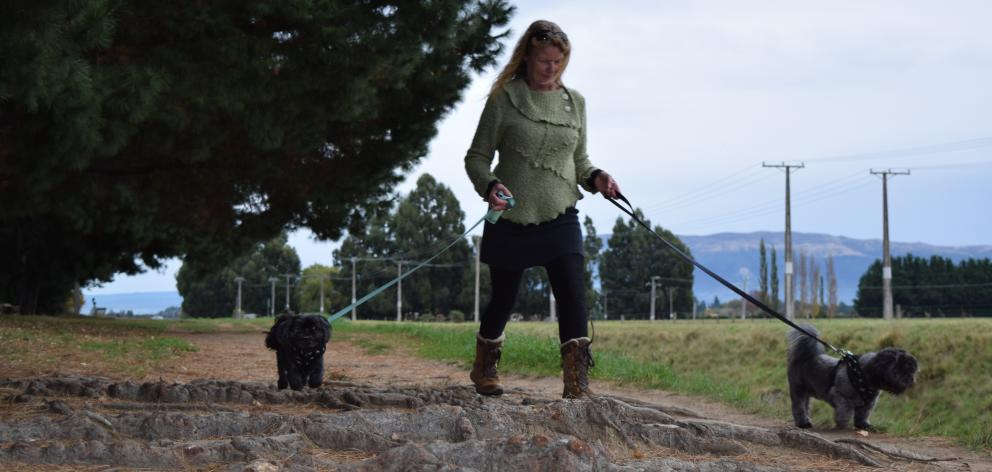Debbie Nehoff, of Levin, walks dogs Ali (left) and Klaus over exposed pine tree roots on...