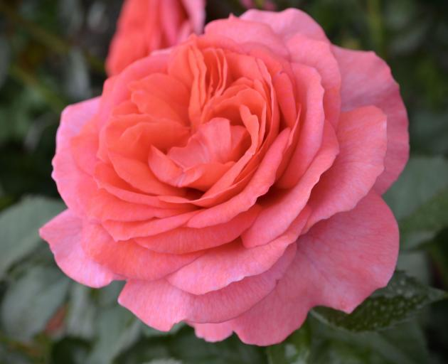 Tauranga rose breeder Rob Somerfield marked his parents' 60th wedding anniversary with this rose,...
