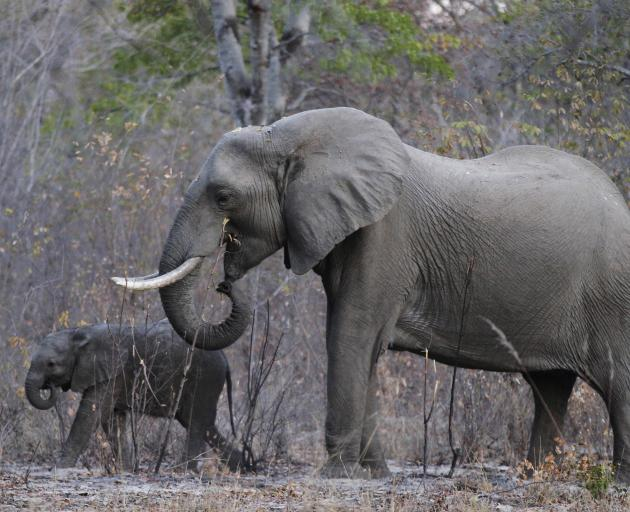 The population of African elephants fell by some 30% between 2007 and 2014, with poaching the primary reason for the decline, according to a recent report. Photo: Reuters
