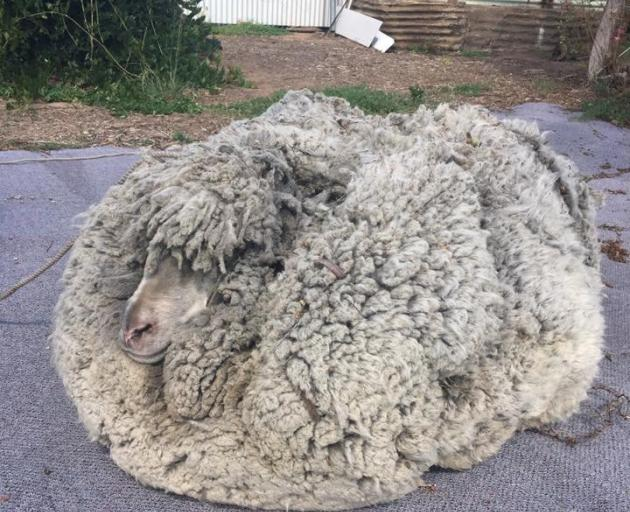 Some 30kg of wool was shorn from the sheep. Photo: Graeme Bowden via Reuters