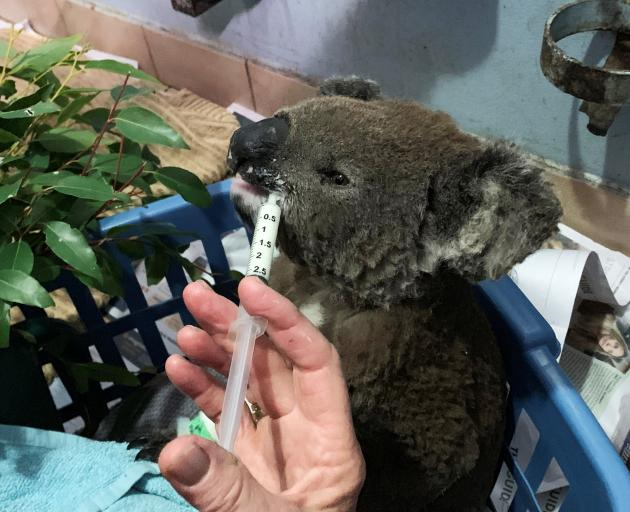 A burnt koala named Anwen, rescued from Lake Innes Nature Reserve, receives formula at the Port...