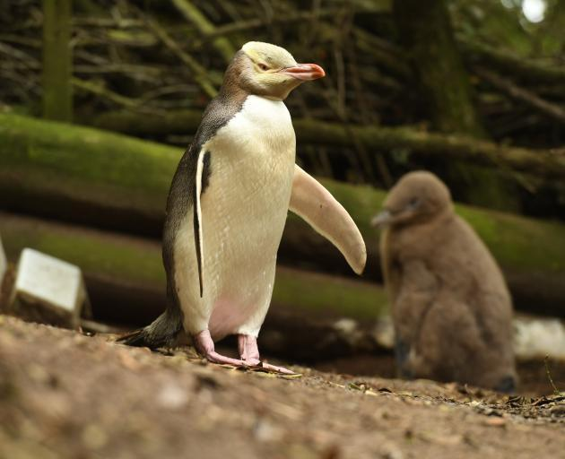 The  Hoiho, or yellow-eyed penguin was voted top bird this year. Photo: ODT files