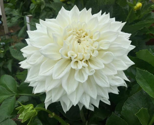 Ryecroft Ice is a large decorative dahlia popular with exhibitors.