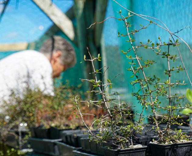 Volunteer Jo Wilson helps raise locally-sourced plants at Haehaeata nursery, ...