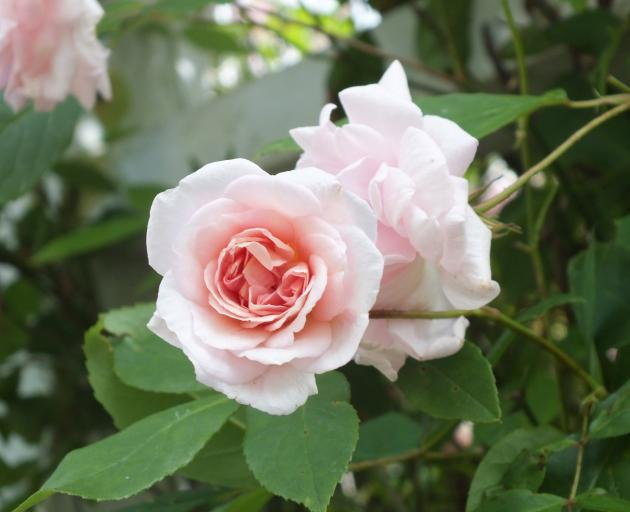 In 1894, rosarian's daughter Cecile Brunner had this polyantha rose named after her. PHOTOS:...