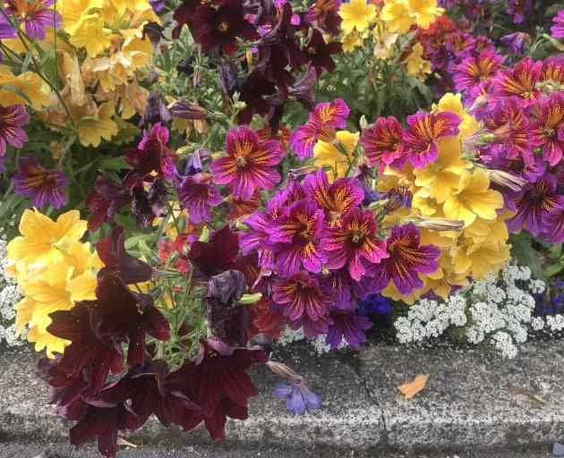 Vivid painted tongues (Salpiglossis sinuata) make an excellent summer bedding display outside the...
