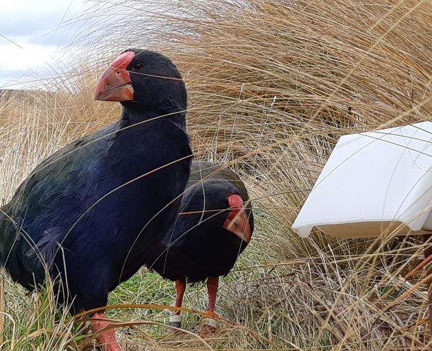Handsome Wheko (front) with his partner Jenkins among the Fiordland tussocks. Photo: Sam Haultan