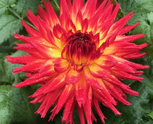 The fimbriated (forked) ends to its petals add to the appeal of this bi-coloured bloom.