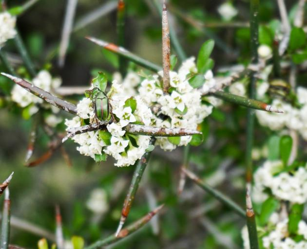 The sweet-scented flowers of matagouri are food for  diverse insect life. PHOTO: ANNA YEOMAN
