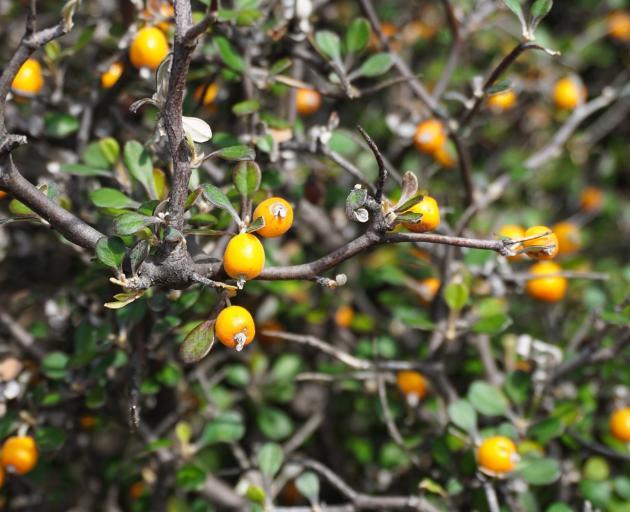 Corokia berries. Photo: Anna Yeoman