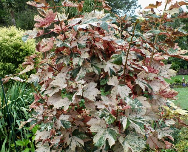 A variegated maple, Acer pseudoplatanus Esk Sunset, in the Browns' garden.