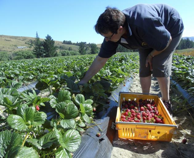 The berry fruit season is early this year thanks to the weather. Photo: Simon Henderson