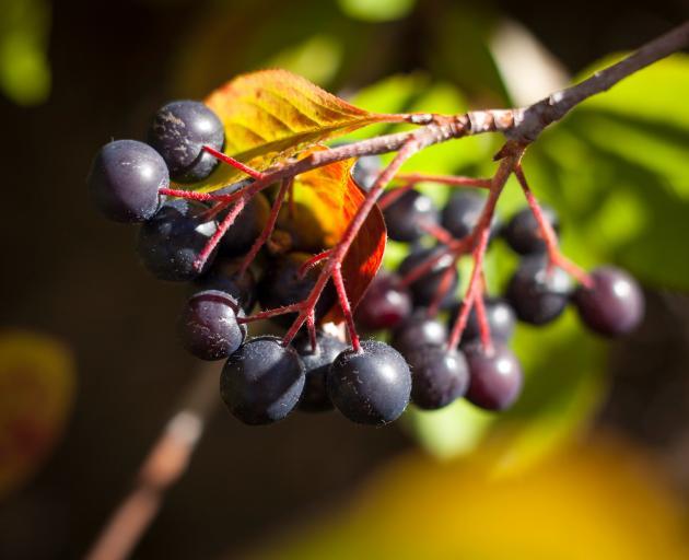 A bunch of ripe aronia berries. Photo: Janyne Fletcher