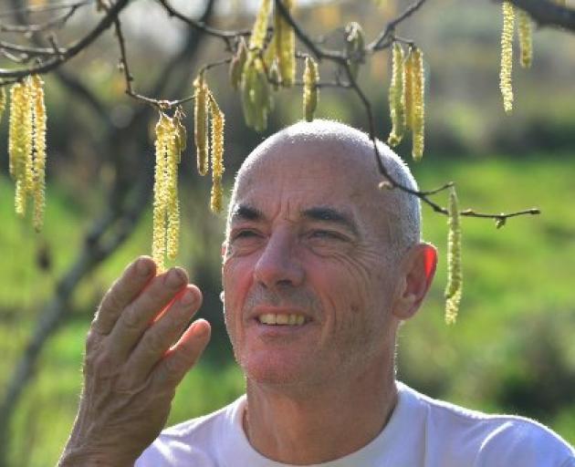 Andy Barratt checks a hazel nut tree on his property near Karitane. PHOTO: PETER MCINTOSH