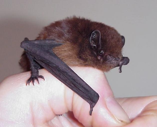 The New Zealand long-tailed bat, Chalinolobus tuberculatus. PHOTO: COLIN O'DONNELL