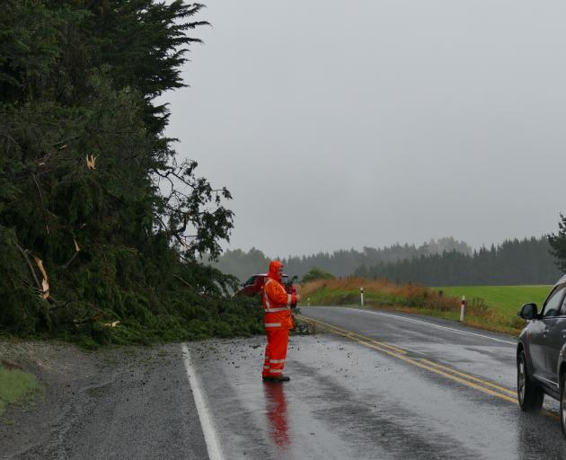 A Clutha District Council contractor guides traffic past a fallen tree 8km south of Balclutha on State Highway 1, about 9am. Photo: Richard Davison