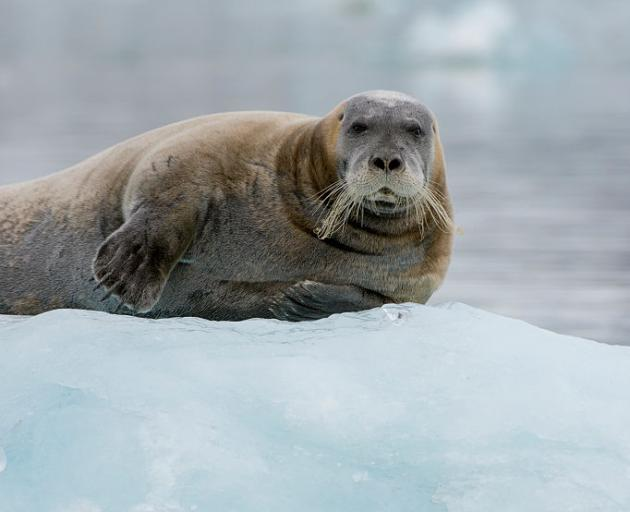 Bearded, spotted and ringed seals use sea ice as platforms for food foraging, for resting and for...
