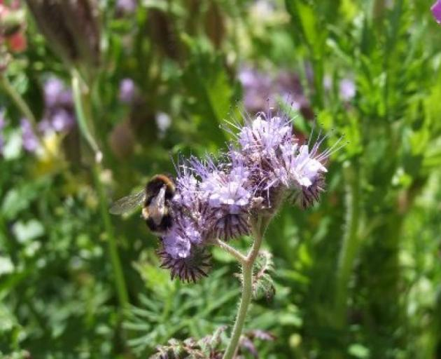 Bees are said to be attracted to blue flowers. Photo: Gillian Vine/ODT