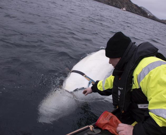 Joergen Ree Wiig试图接触到安全带。照片:AP