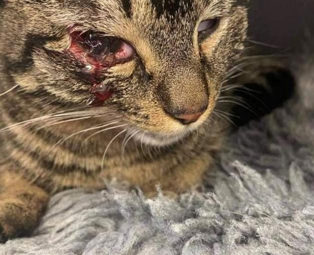 Eddy the cat was shot through the eye on Sunday morning. Photo: Supplied