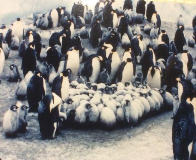 Emperor penguin chicks form a ''creche''. PHOTO: SUPPLIED